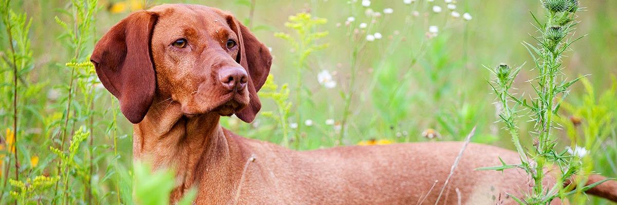 A Vizsla, from Craig Koshyk's Pointing Dog Blog.